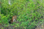 Comparative Study of Sundarban Tiger and Other Bengal Tigers of India