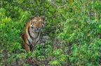 Origin of Tigers in India (with focus on Ranthambore and Sundarbans) & Importance of Tiger Corridors in  Conservation.