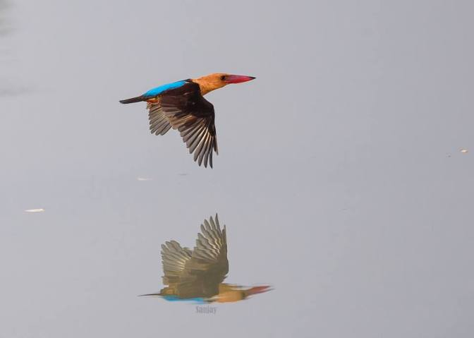 Brown Winged Kingfisher