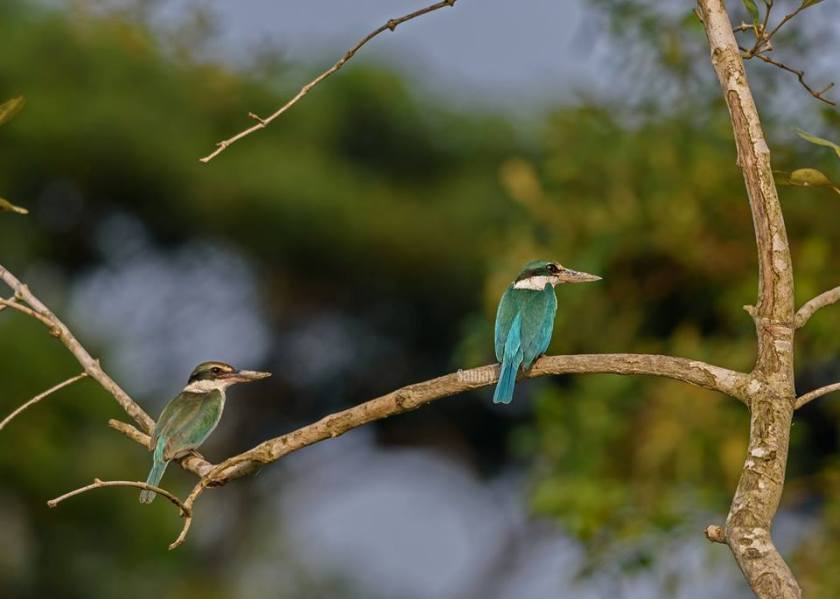 Kingfisher Duo