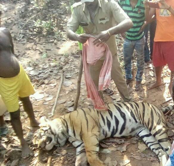 Dead Lalgarh Tiger