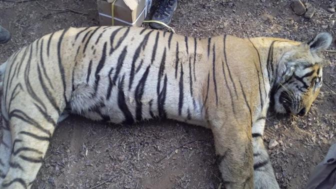 Dead Ranthambore Tiger