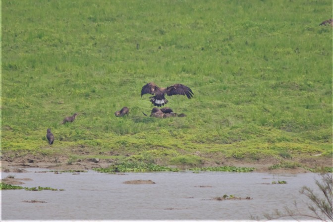 Eagle Fight With Otter.jpg
