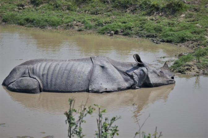 Rhino Sleeping