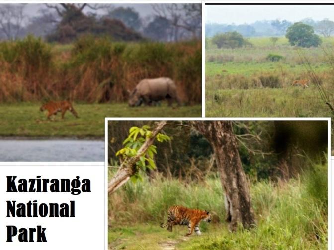 Tiger Kaziranga collage