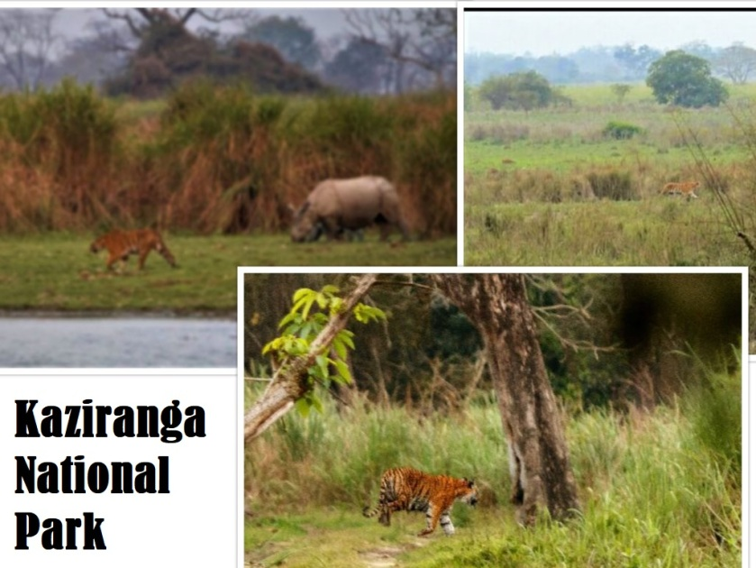 Tiger Kaziranga collage