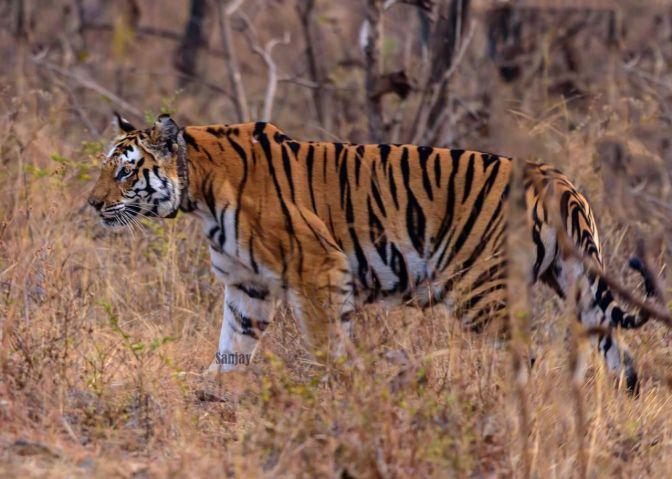 Panna Tiger T1