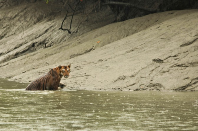 Sunderban Tiger in Rain.jpg